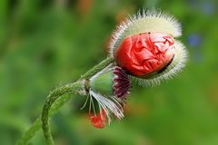 红色鸦片,罂粟属rhoeas L 免版税库存图片