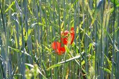 Rhoeas rossi di fioritura del papavero dei fiori dei papaveri nel giacimento di grano alla luce solare luminosa di estate - Germa fotografia stock libera da diritti