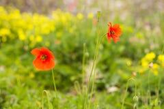 Rhoeas vermelhos do Papaver da papoila em um campo verde com foco seletivo e bokeh bonito foto de stock royalty free