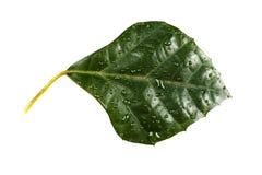 Rhombifolia de Cissuntem d'usine de Folium Image libre de droits