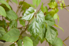 Rhombifolia de Cissus Photos libres de droits