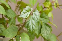Rhombifolia van Cissus royalty-vrije stock foto's