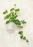 Rhombifolia van Cissus in pot op muur Stock Foto's