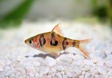 Rhombo Barb Puntius rhomboocellatus freshwater tropical aquarium fish Stock Photo
