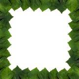rhomboidea rhoicissus листьев рамки Стоковое Изображение RF