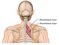 Rhomboideus muscle 3d medical  illustration royalty free illustration