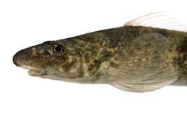 Rhone streber fish against white background Royalty Free Stock Photo