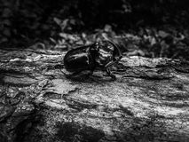 Rhono Käfer Lizenzfreies Stockbild