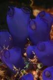 Rhopalaea spp. - O mar esguincha (o ascidian) Imagens de Stock
