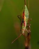 Rhopalidae, miriformis de Heteroptera Myrmus Imagen de archivo libre de regalías
