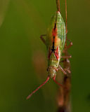 Rhopalidae, miriformis de Heteroptera Myrmus Imagem de Stock Royalty Free