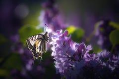 Rhopalocera бабочки на пурпурном цветке стоковые фотографии rf