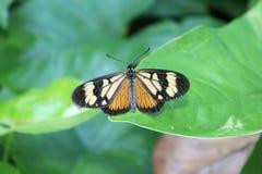 Rhopalocera eller brasiliansk fjäril arkivbilder