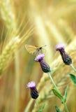 Rhopalocera fjäril på blomningen som kryper tisteln, Cirsiumarvense Arkivfoto
