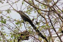 Rhopodytes tristis on nature Stock Photos