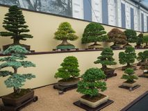RHS Chelsea Flower Show 2017. Bonsai display. RHS Chelsea Flower Show 2017. Bonsai display at the Great Pavilion Royalty Free Stock Photos