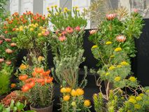 RHS Chelsea Flower Show 2017. A Proteaceae family flowering plants. RHS Chelsea Flower Show 2017. A Proteaceae family flowering plants display Royalty Free Stock Photography