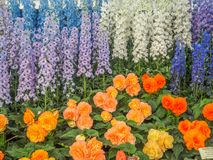 RHS Chelsea Flower Show 2017. Variegated begonias and delphiniums display. RHS Chelsea Flower Show 2017. Variegated begonias and delphiniums  display at the Royalty Free Stock Images