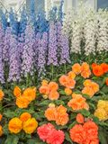 RHS Chelsea Flower Show 2017. Variegated begonias and delphiniums display. RHS Chelsea Flower Show 2017. Variegated begonias and delphiniums  display at the Stock Image