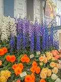 RHS Chelsea Flower Show 2017. Variegated begonias and delphiniums display. RHS Chelsea Flower Show 2017. Variegated begonias and delphiniums  display at the Stock Photos