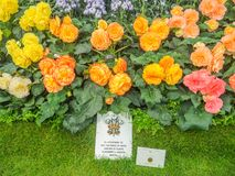 RHS Chelsea Flower Show 2017. Variegated begonias  display. RHS Chelsea Flower Show 2017. Variegated begonias  display at the Great Pavilion Royalty Free Stock Images
