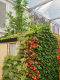 RHS Chelsea Flower Show 2017. A beautiful plants and flowers display of the Great Pavilion. RHS Chelsea Flower Show 2017. View of a beautiful colorful plants Stock Photos