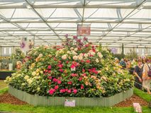 RHS Chelsea Flower Show 2017. Visitors observing variegated roses displays. RHS Chelsea Flower Show 2017. Visitors observing beautiful variegated roses displays Royalty Free Stock Photos