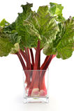 Rhubarb. Fresh picked Rhubarb in glass vase on white background Royalty Free Stock Images