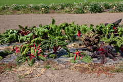 Rhubarb. Field in a small farm Stock Images