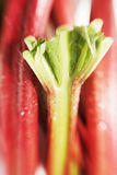 Rhubarb royalty free stock photography