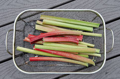 Rhubarb in a basket. Fresh rhubarb stalks, from the garden, are draining in a basket Royalty Free Stock Photo