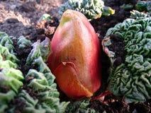 Rhubarb, Bud, Earth, Leaf, Red Royalty Free Stock Photography