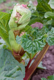 Rhubarb bud starts to blossom Royalty Free Stock Photography