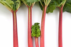 Rhubarb bunch isolated Stock Photography