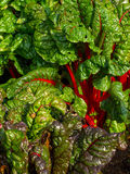 Rhubarb chard. Plants in growth stock photography