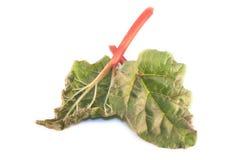 Rhubarb Royalty Free Stock Photos