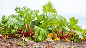 Rhubarb Field Royalty Free Stock Photos