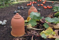 Rhubarb forcing jars in a garden Stock Photo