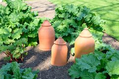 Rhubarb with forcing pots royalty free stock images