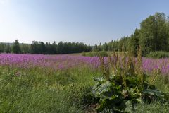 Rhubarb in forefront and a meadow with flowering willowherb. Rhubarb Rheum rhabarbarum in forefront and a meadow with flowering willowherb Chamaenerion stock photo
