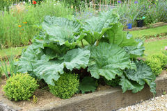 Rhubarb. The giant leaves on this every day vegetable are very attractive and structural in the flower garden Royalty Free Stock Image