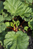 Rhubarb Stock Images