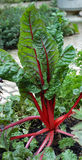 Rhubarb In The Garden Royalty Free Stock Image