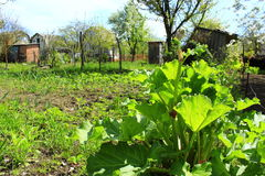 Rhubarb on the kitchen garden Royalty Free Stock Photos