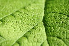 Rhubarb Leaf. A close-up of a giant Rhubarb leaf Royalty Free Stock Images