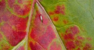 Rhubarb Leaf Royalty Free Stock Images