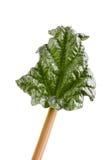 Rhubarb leaf on white background Royalty Free Stock Image