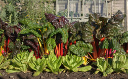 Rhubarb and lettuce. Kitchen garden with rhubarb and lettuce Stock Images