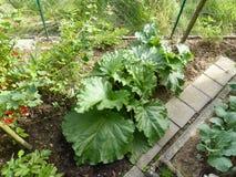 Rhubarb organic garden Stock Image