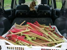 Rhubarb picking Stock Photo